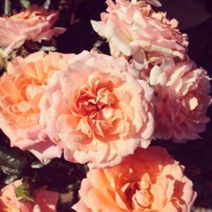 peach roses form garden